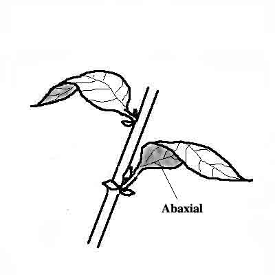 Abaxial