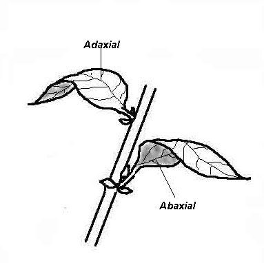 Adaxial