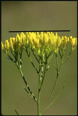 Corimbiformes