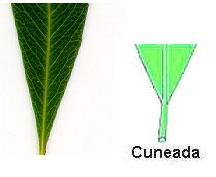 Cuneado