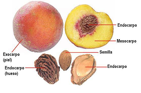 Endocarpio