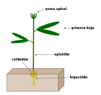 Epicótilo
