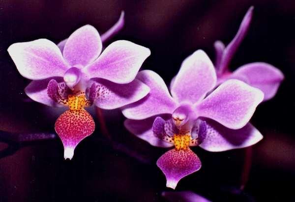 Flores zigomórficas