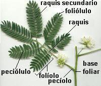 Foliolo