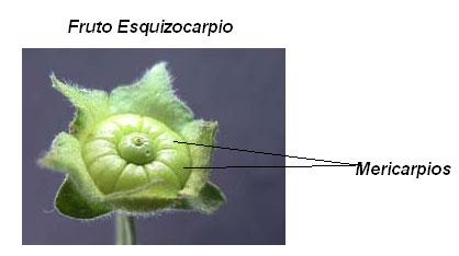 Mericarpio