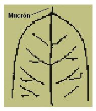Mucrón