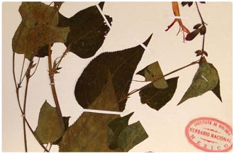 Muestra del herbario nacional
