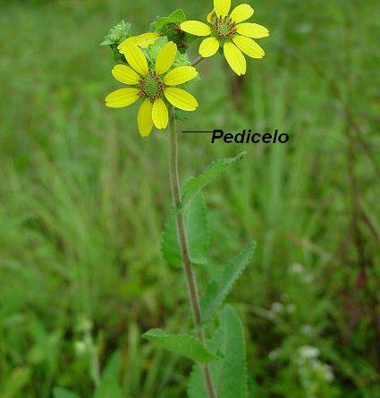 Pedicelado