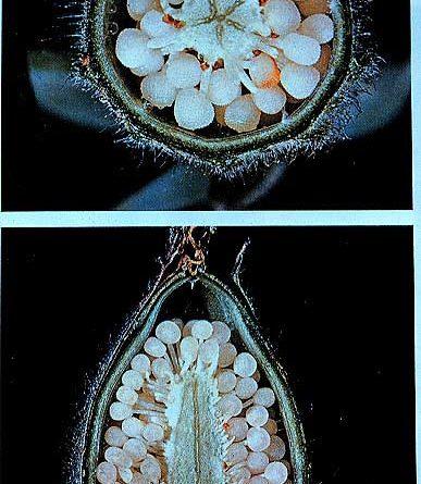 Placentación central