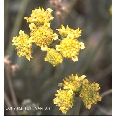 Parthenium argentatum