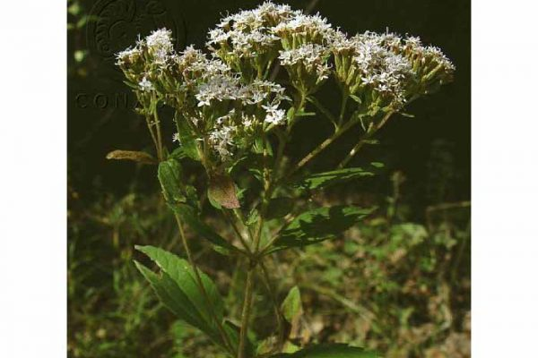 Stevia monardaefolia H.B.K.