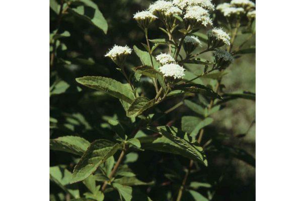 Stevia rhombifolia H.B.K.