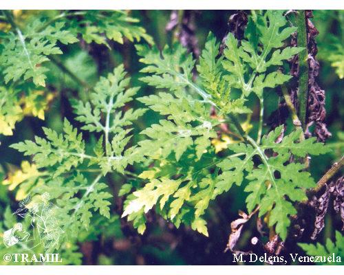 Ambrosia peruviana  Willd.