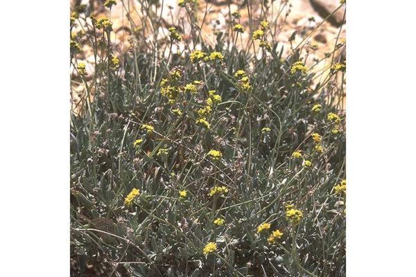 Parthenium argentatum (Gray)
